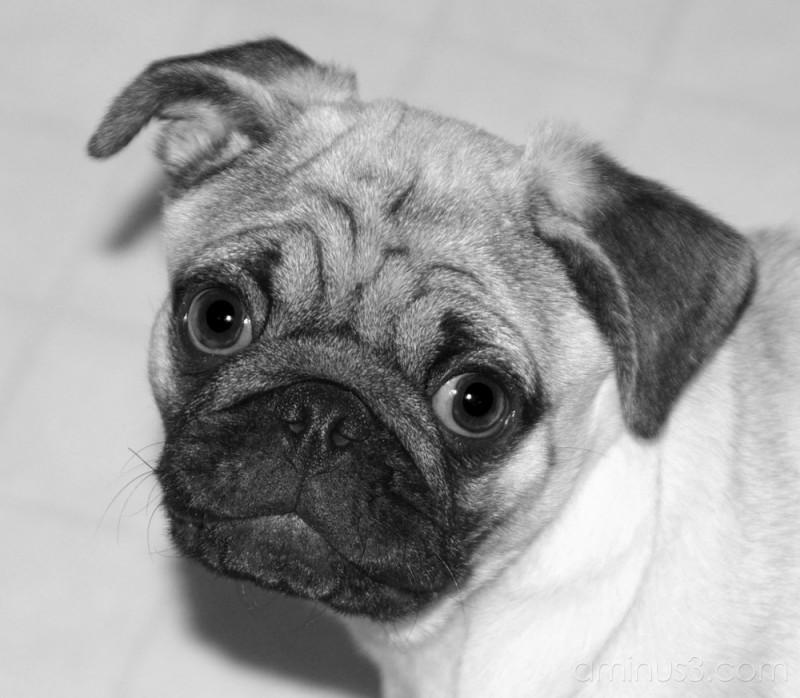 Auntie's Pug
