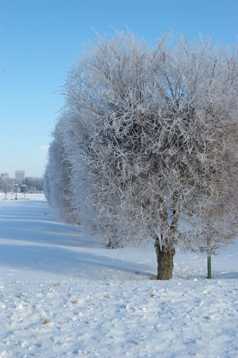 Frost on the Tress