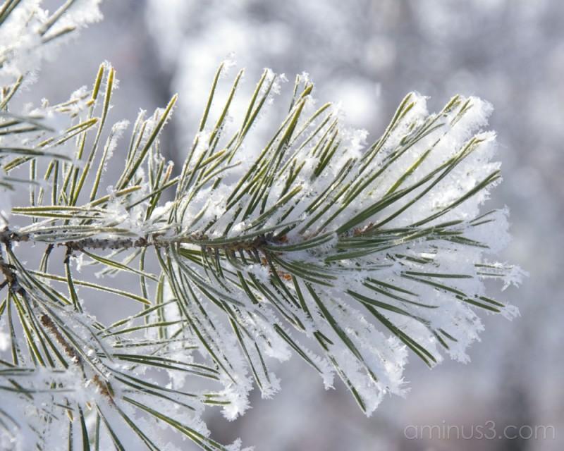 Needles & Frost