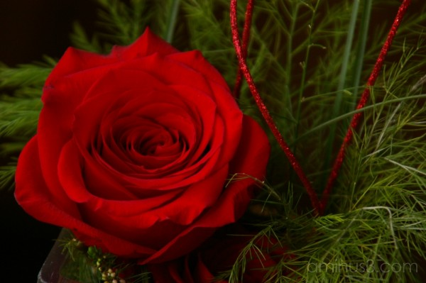 Sherry's Rose