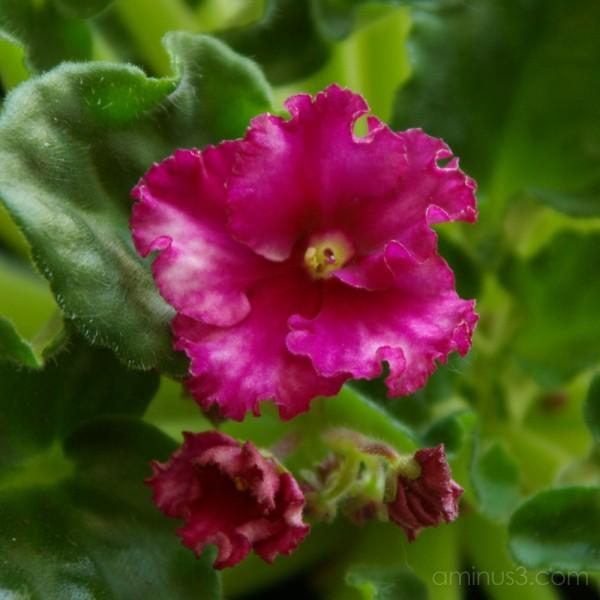 My Violet's Blooming