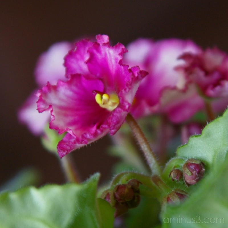 My Violet's Blooming #2