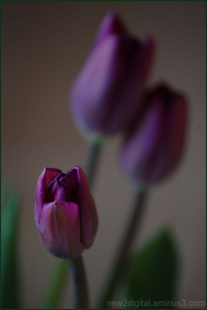 Spring Tulips 3 of 3