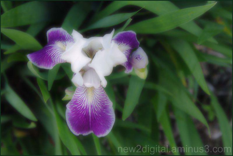 Softened Iris