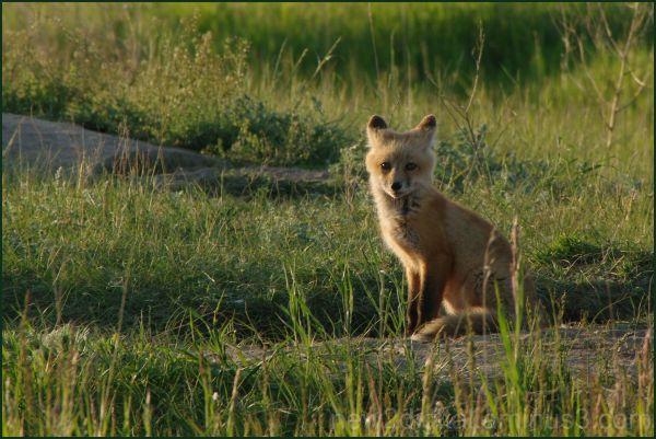 Fox 1/3