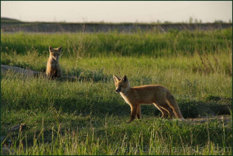 Fox 3/3