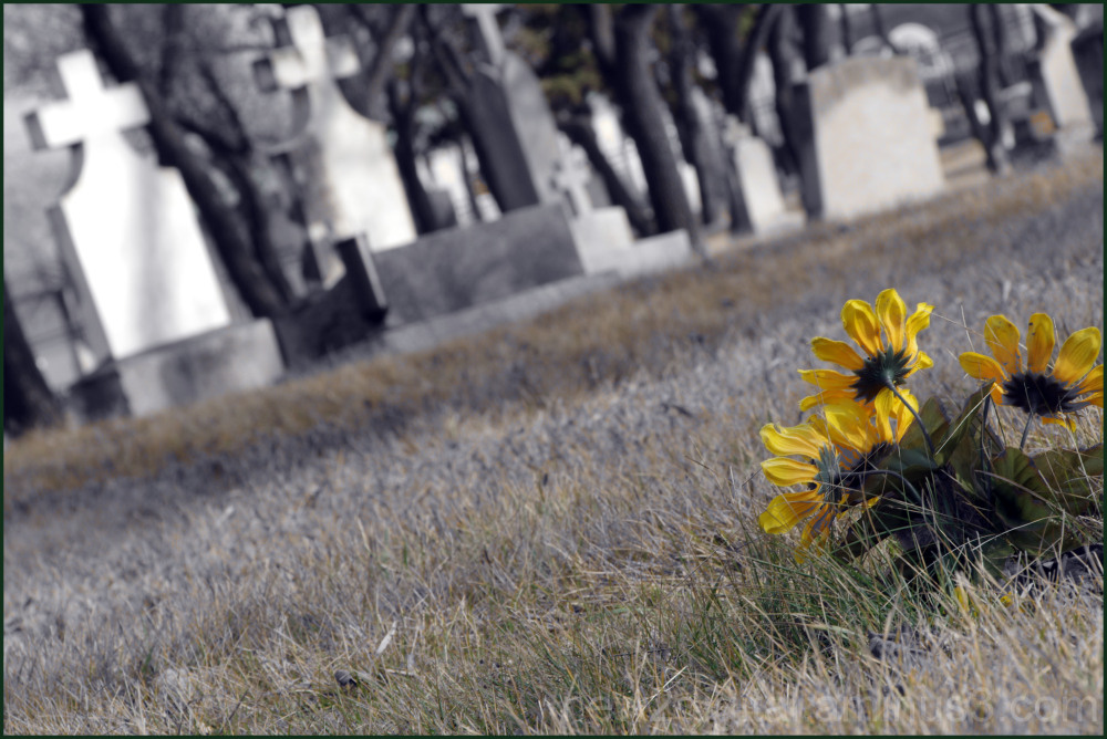 Sun Flowers at the Graveyard