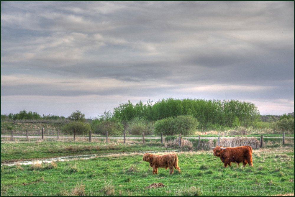 Highland Cattle on the Prairie