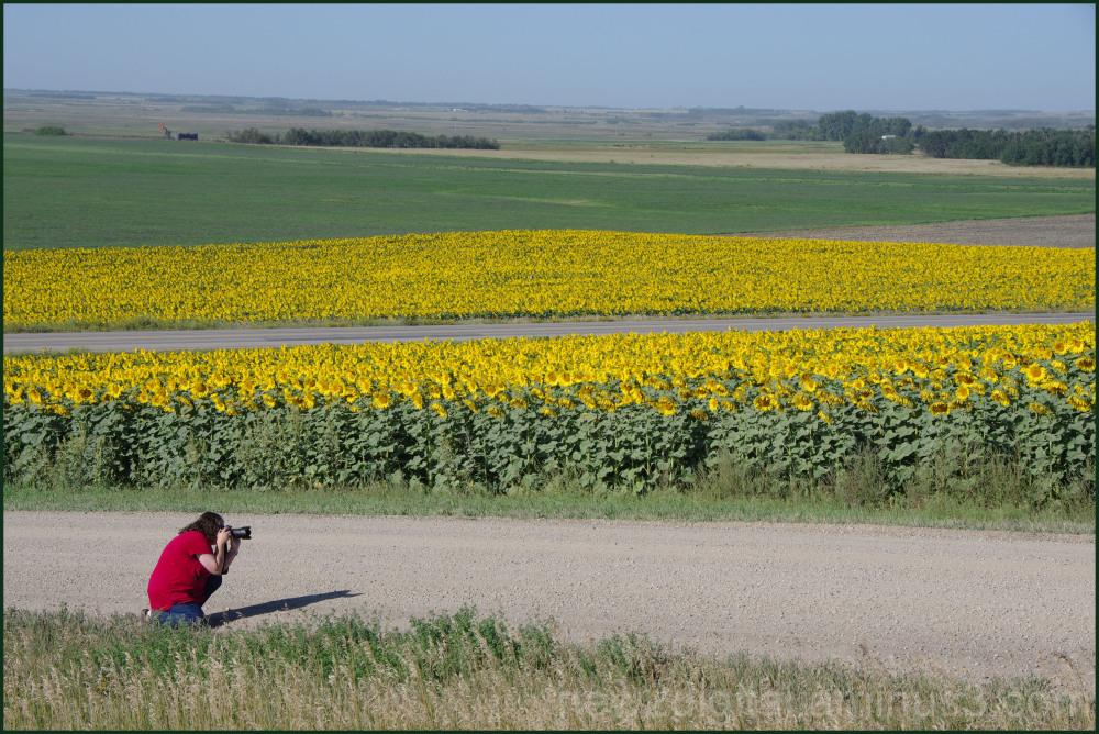 Jane Photographs Field of Sunflowers