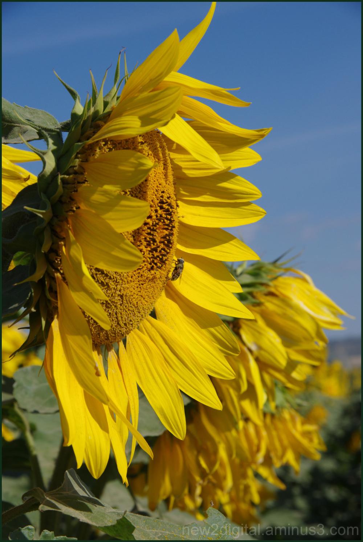 Sunflower Ruffles