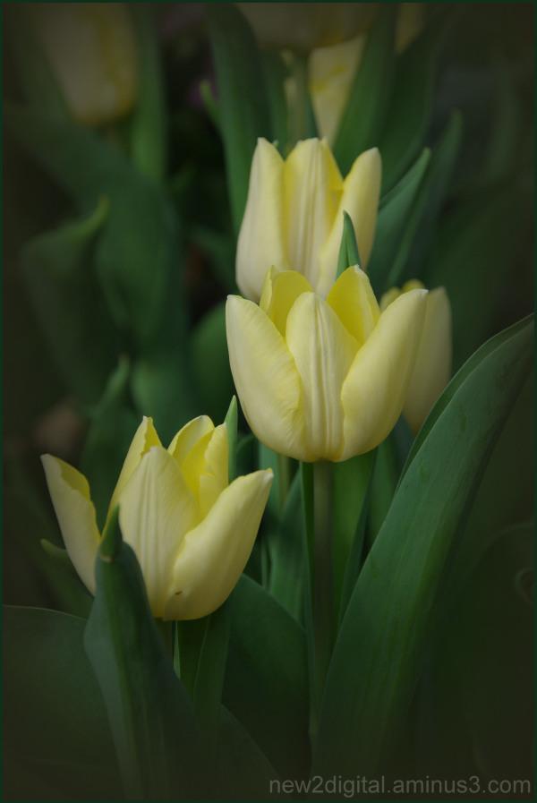 Tulips of Yellow