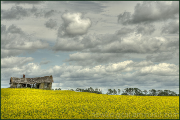 Canola and the Old Cabin