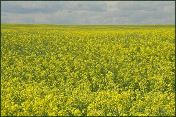 Field of Canola