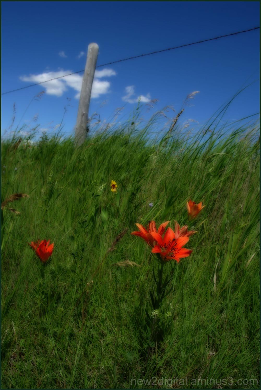 Prairie Lily - Our Provincial Emblem 1/3