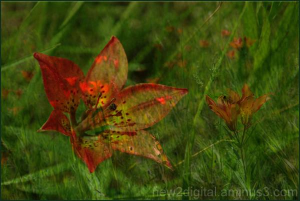 Prairie Lily - Our Provincial Emblem 3/3