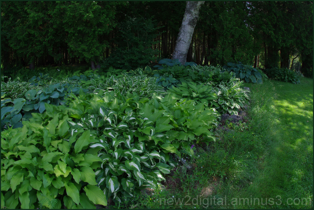 Holy Cow! Look at the Hostas!