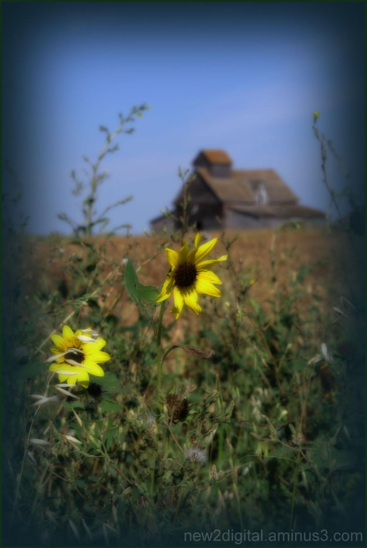 Sunflower in the Barnyard