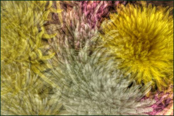 Chrysanthemum Collage