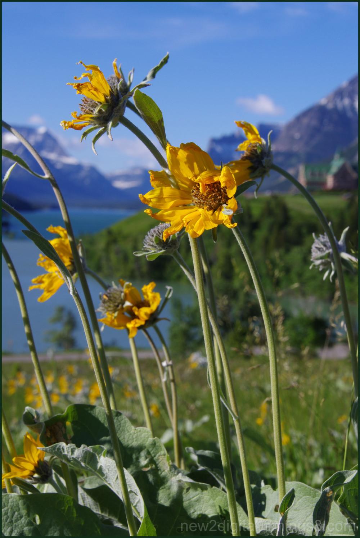 Wild Flowers of Waterton 4/7