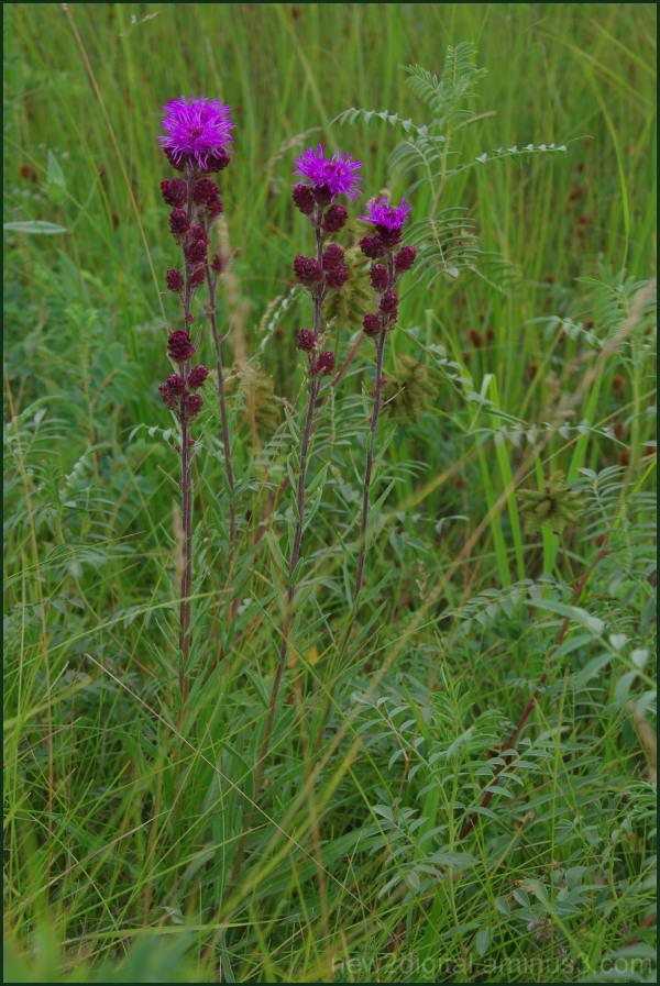 Prairie Wildflowers 1/3