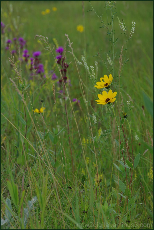 Prairie Wildflowers 2/3