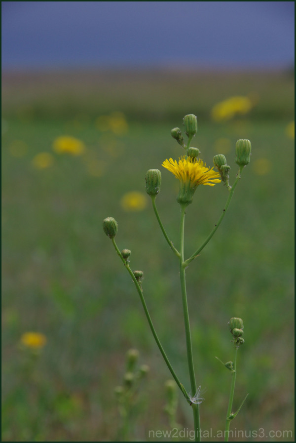 Weed or Wild Flower?