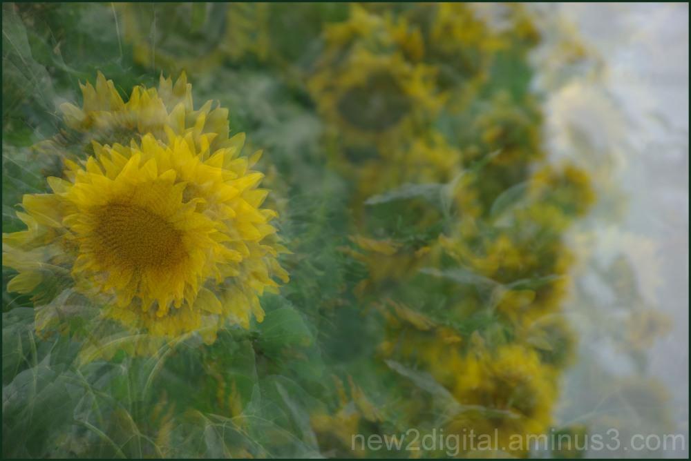 Field of Sunflowers Multiplied