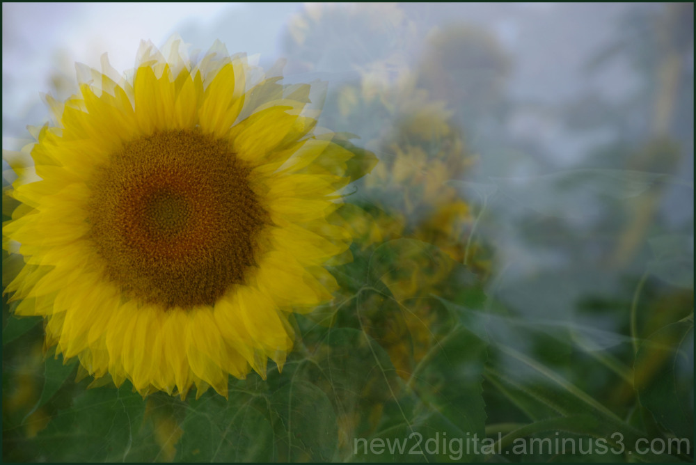 Sunflower Multiplied