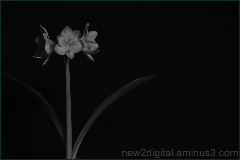 Amarylis 2/2