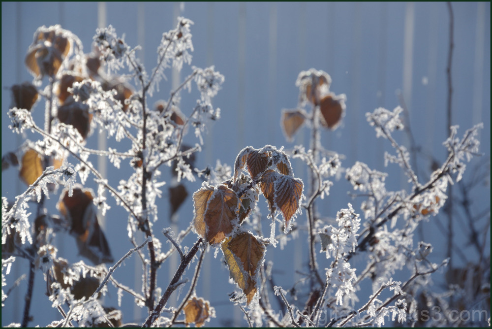 Frost in the Raspberry Patch 1/3
