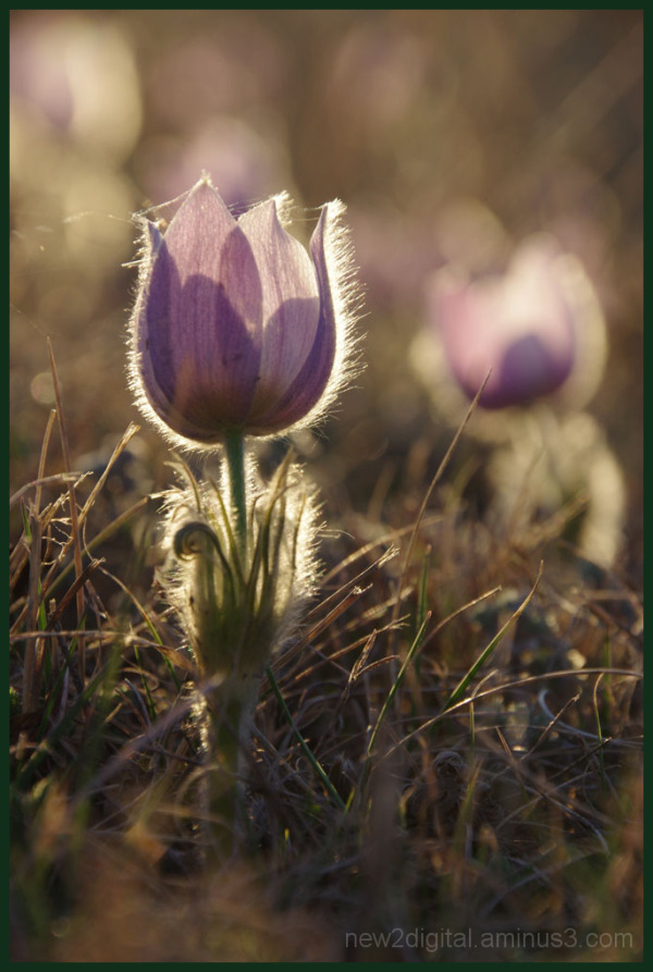 Crocus and Spider Web 1/2