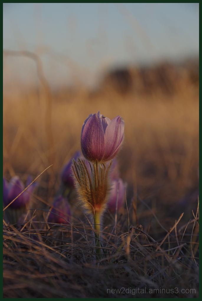 Crocus on the Prairie