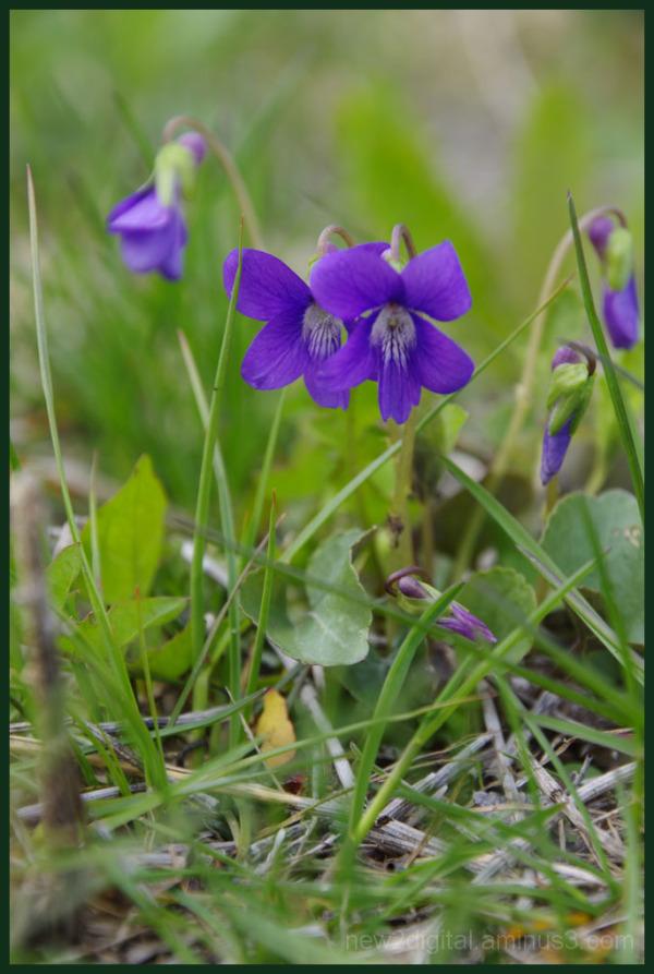 Prairie Wildflower - Violet