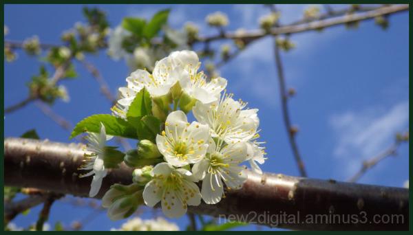Cherry Blossums 4/4