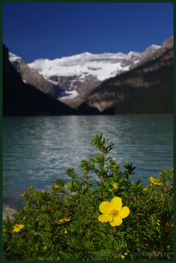 Primrose at Lake Louise