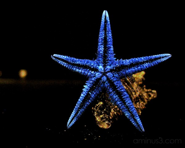 Blue Starfish leaning on a shell