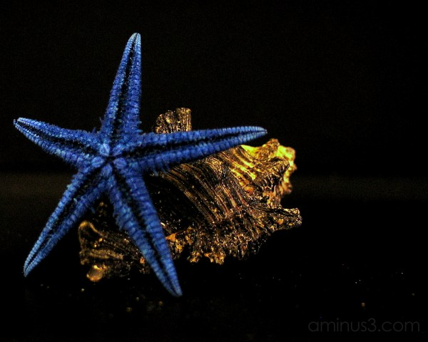 Blue Starfish leaning on a shell #2
