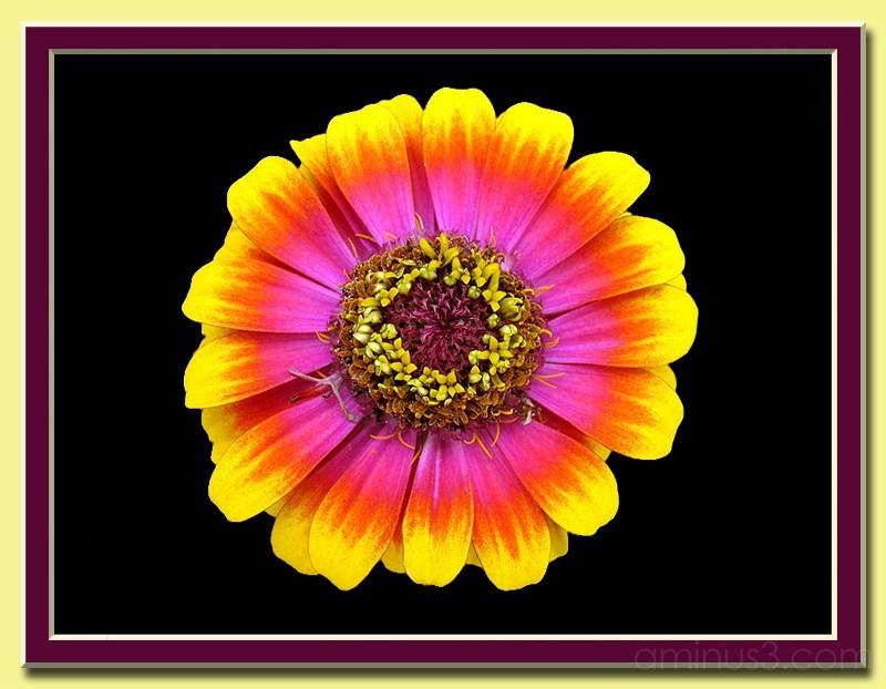 Multi colored daisy