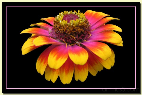Multi colored daisy