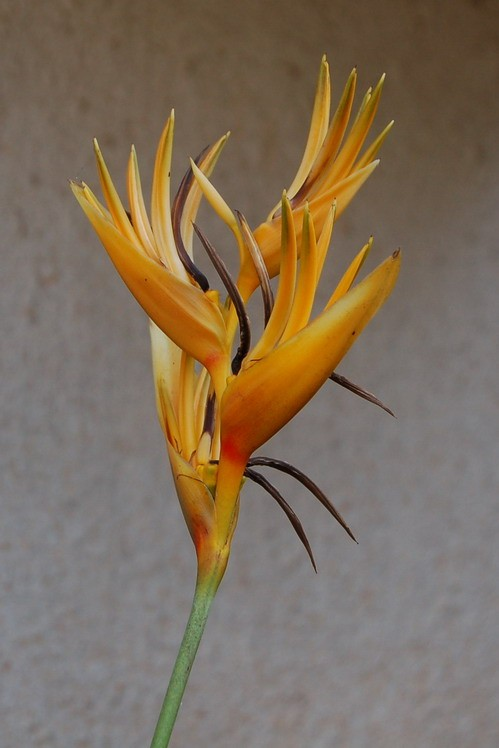 The original Bird of Paradise