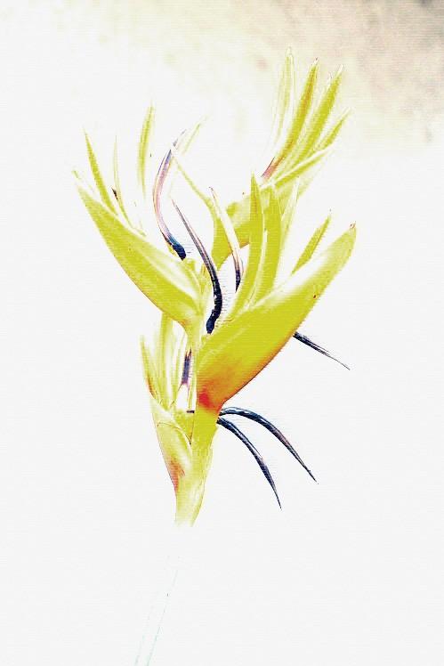 Bird of Paradise.
