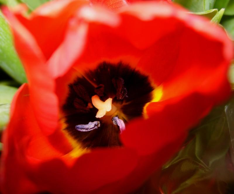 Inside a tulip...