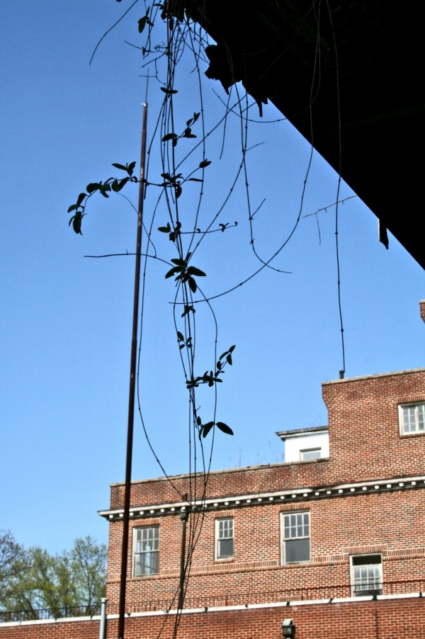 Images of Statesville 6 -- hospital vines.