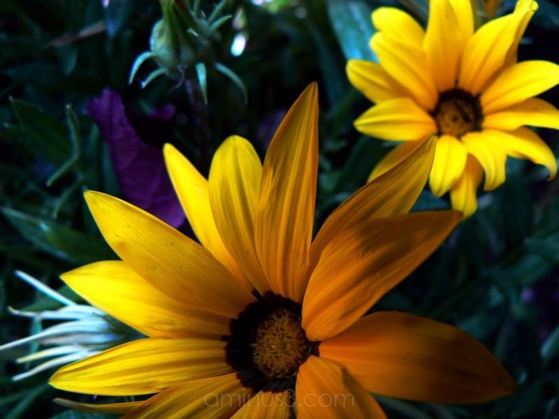 flors grogues II