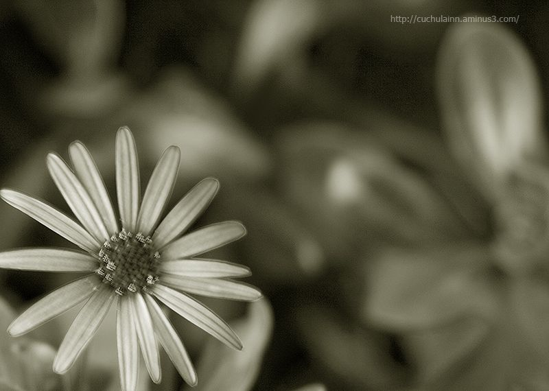 softness flower