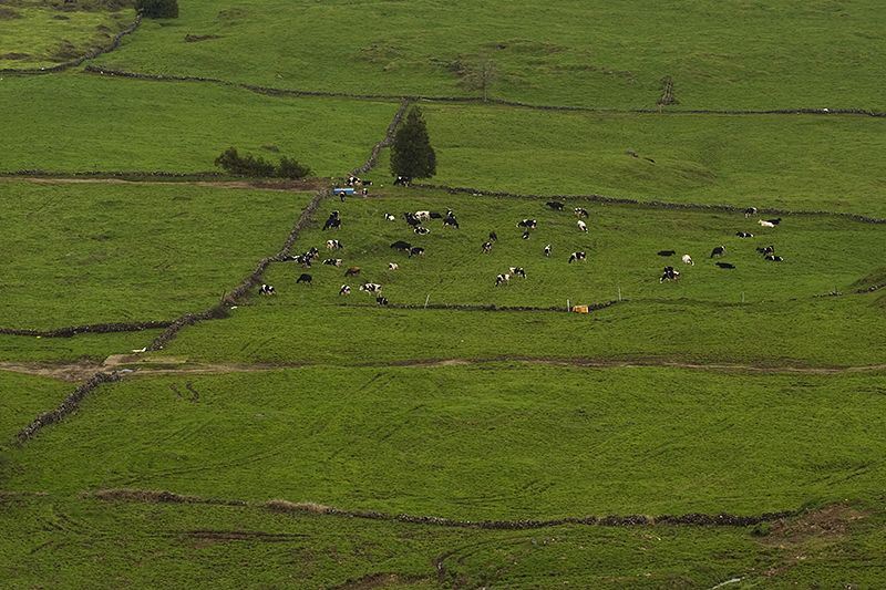 açores and cows