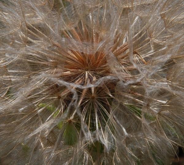 hawkweed