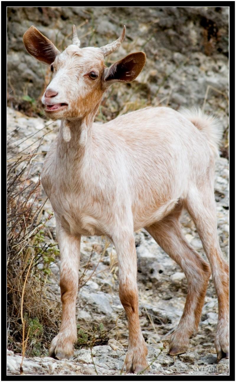 Cabrita   /   Little goat