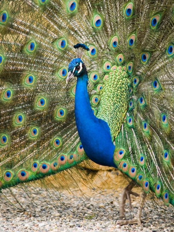 El pavo real   /   The Peacock