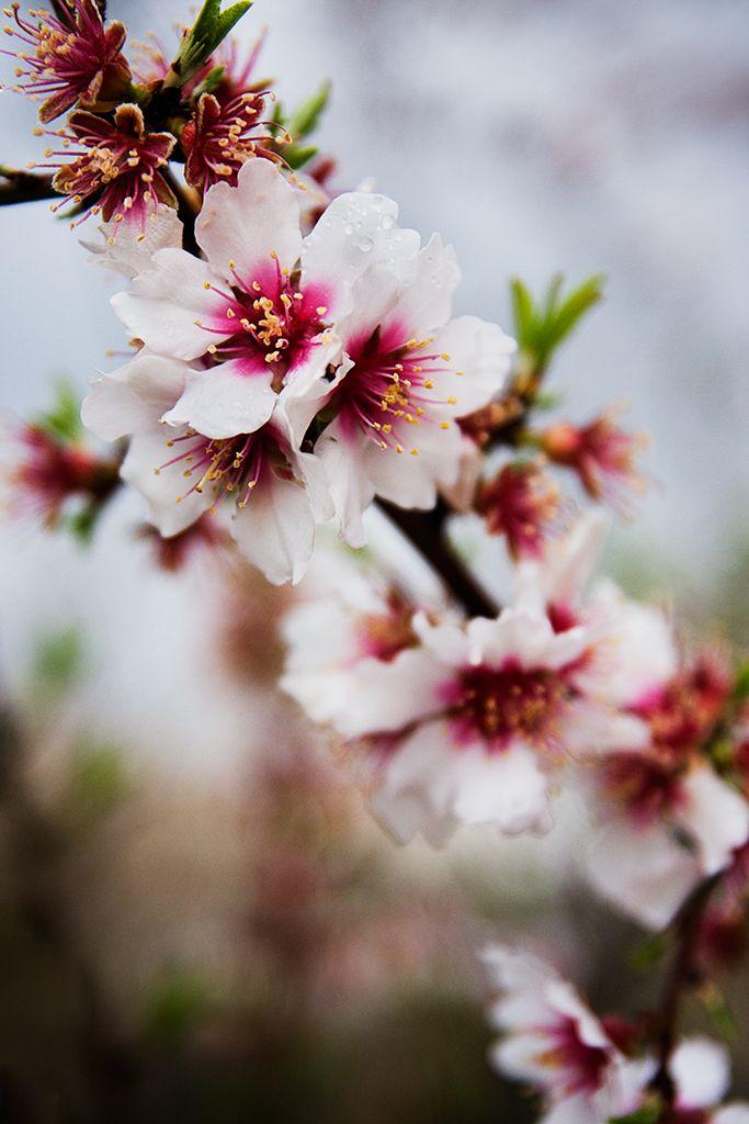 almond-tree flowers